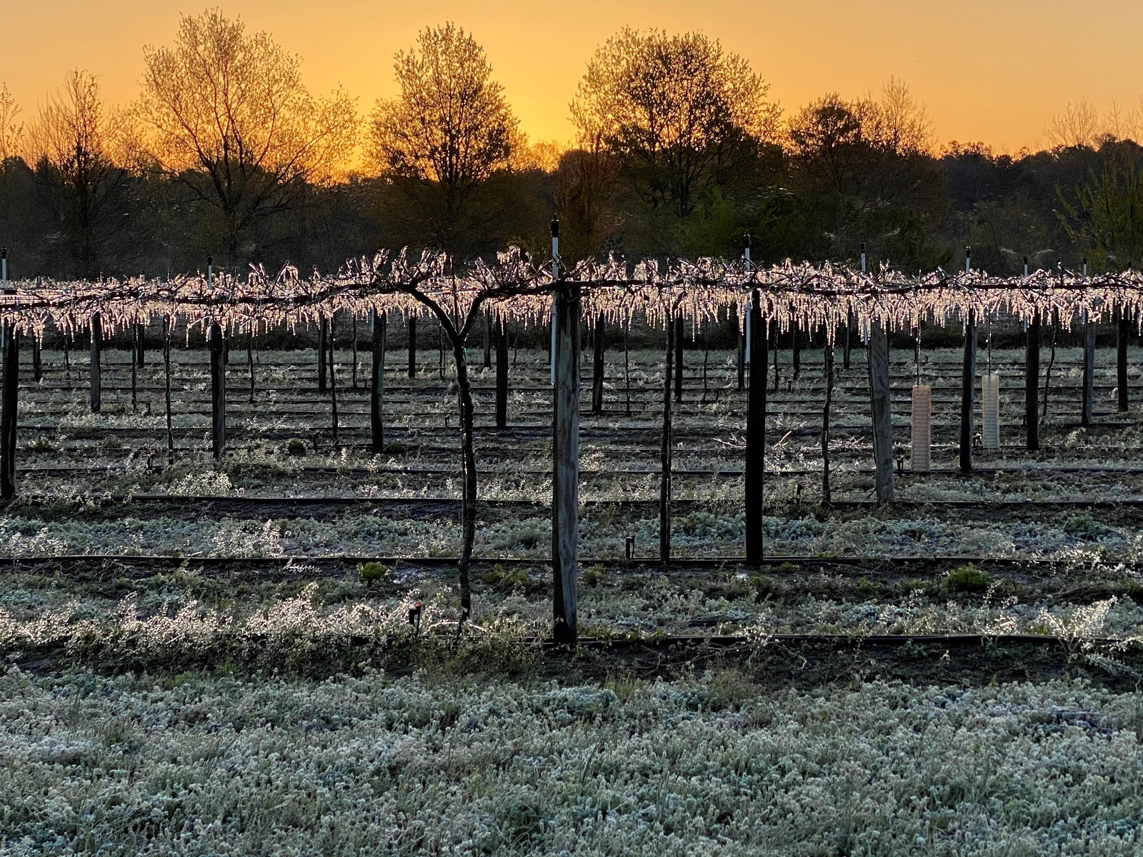 "How do you save a grape vine from freezing to death during one of spring's surprise cold snaps? ""We fight ice with ice,"" Duplin vineyard manager Juan Carlos Mungia said."
